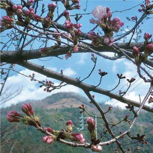 桜-20190326aS.jpg
