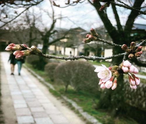 桜-20190326bS.jpg