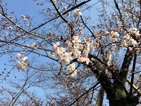 桜20150330aS.jpg