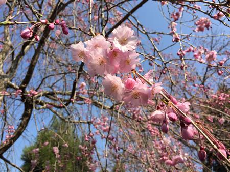 桜20150330bS.jpg