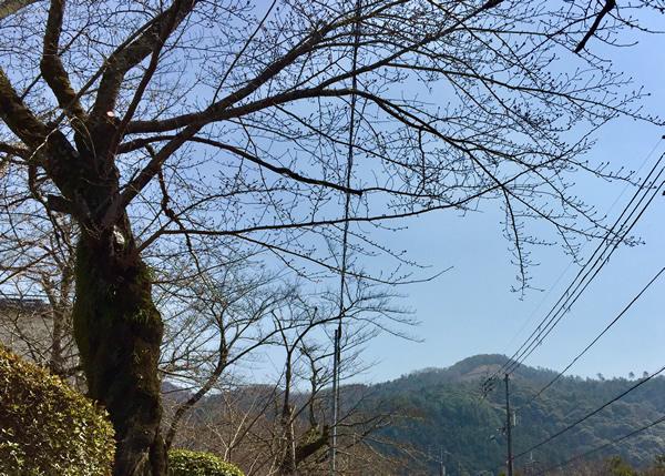 桜20180313bS.jpg