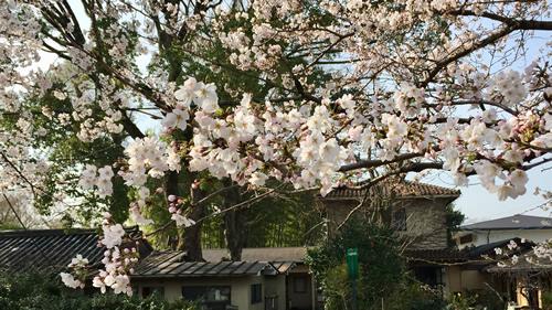 桜20180327aS.jpg