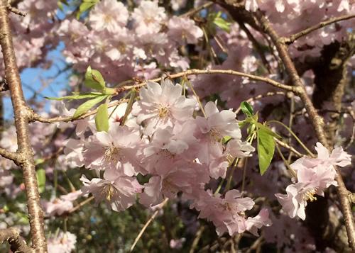 桜20180330bS.jpg