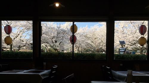 桜20180330cS.jpg