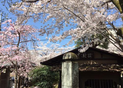 桜20180330fS.jpg