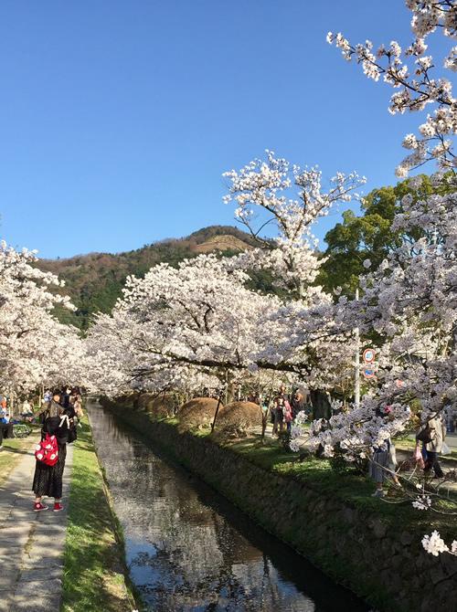 桜20180330gS.jpg