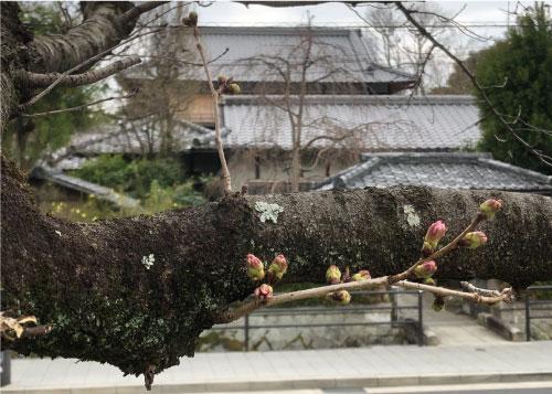 桜20190322bS.jpg