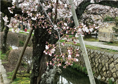 桜20190402dS.jpg