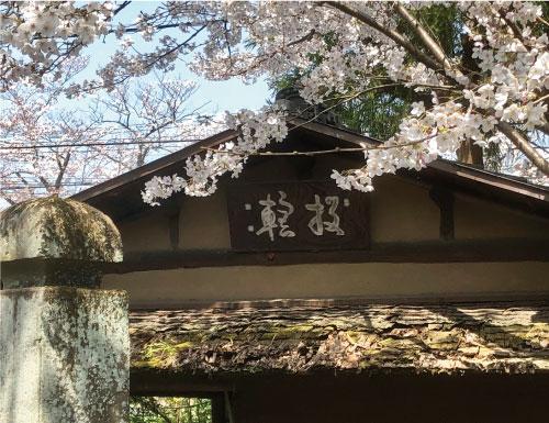 桜20190406fS.jpg