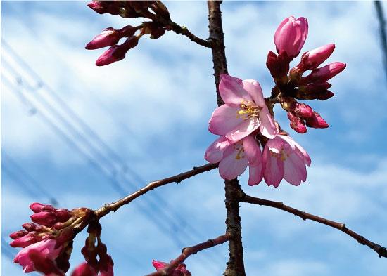 桜20200319aS.jpg