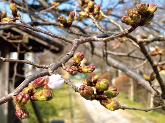 桜20200319bS.jpg