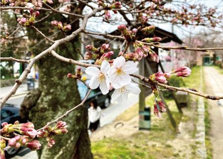 桜20200322aS.jpg