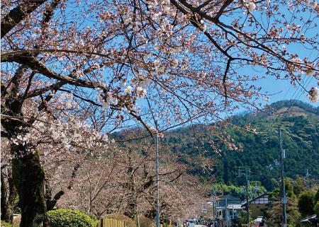 桜20200325aS.jpg