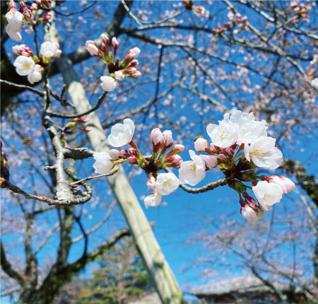 桜20200325bS.jpg