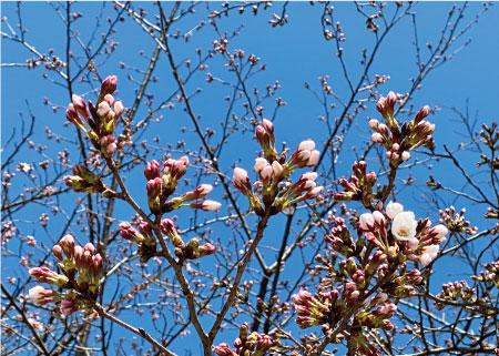 桜20200325cS.jpg