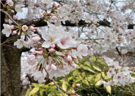桜20200330aS.jpg