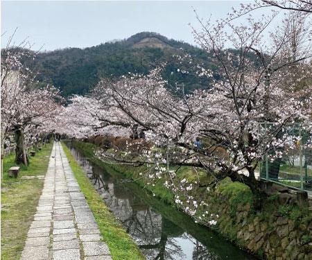 桜20200330bS.jpg