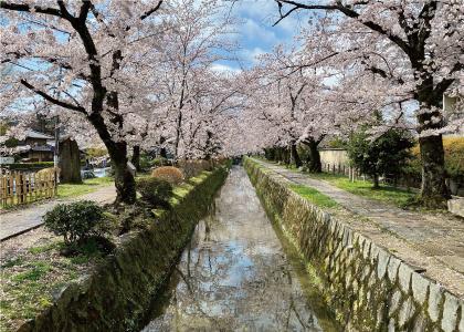 桜20200405aS.jpg
