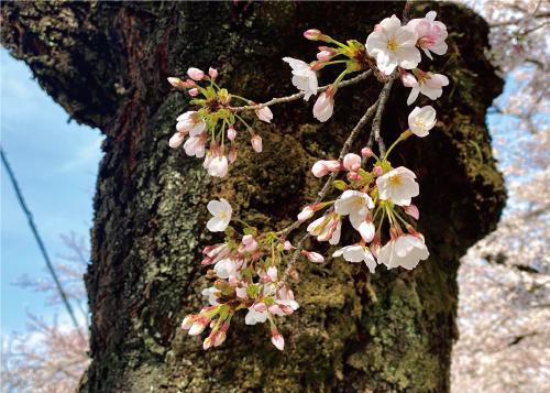 桜20210327CS.jpg
