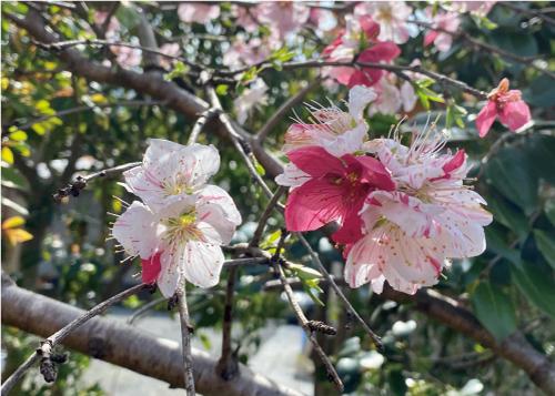 桜20210327DS.jpg
