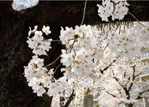 桜20210329AS.jpg