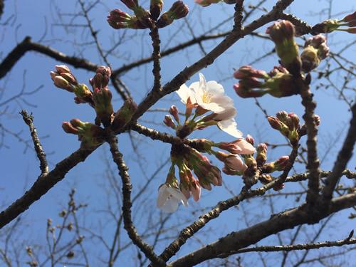 関雪桜20160323cS.jpg