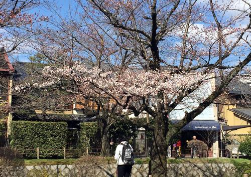 関雪桜20160327bS.jpg