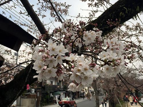 関雪桜20160330aS.jpg