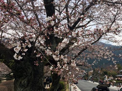 関雪桜20160330bS.jpg