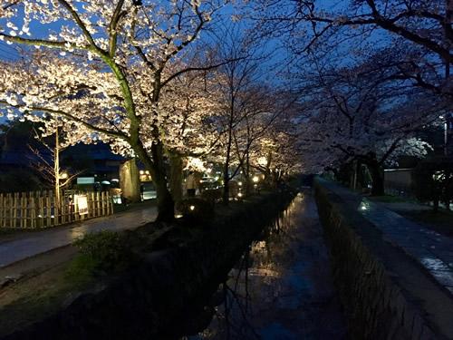 関雪桜20160401aS.jpg